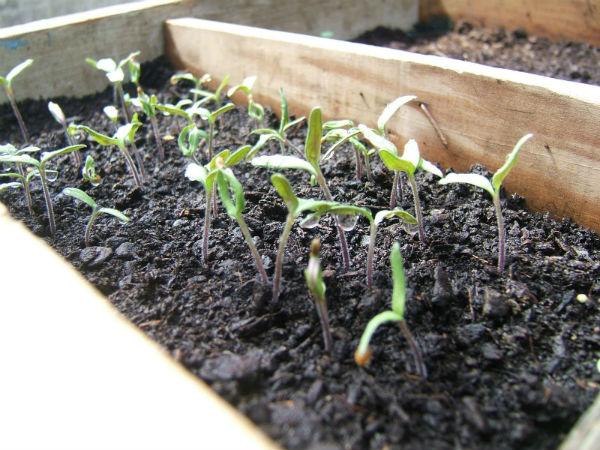 Как правильно посадить рассаду?